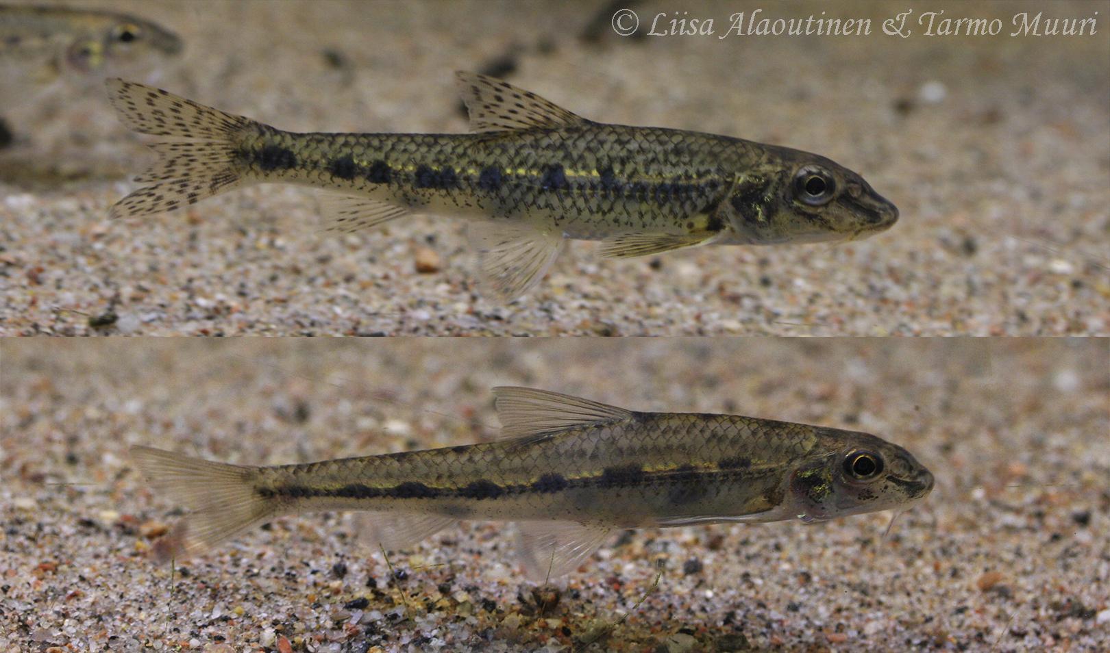 Tunnista uusi kalalajimme valkoevätörö